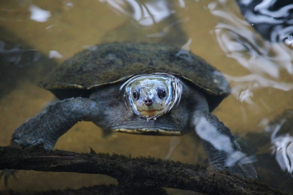 A turtle sticks its head out of the water at Paronella Park, Australia