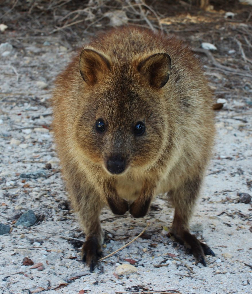 One of the famous quokkas on Rottnest Island, Australia