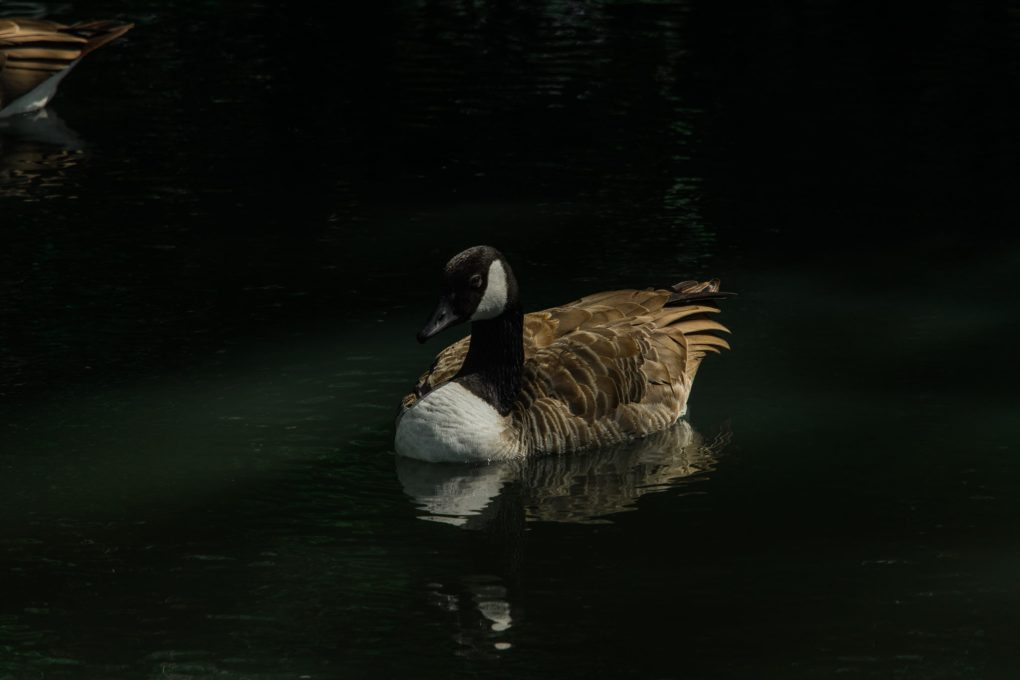 A goose relaxing on the river at Oxford, UK