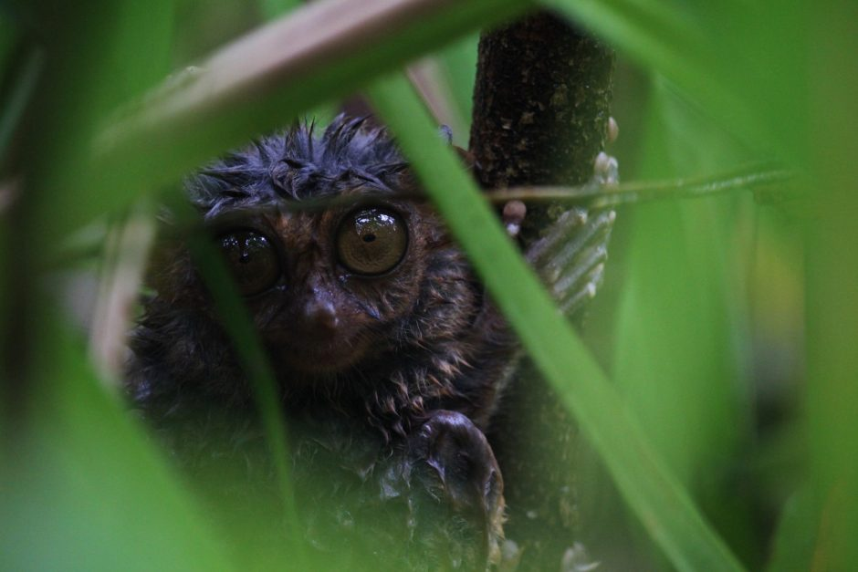 Getting up close and personal with the tarsiers of Bohol in the Philippines