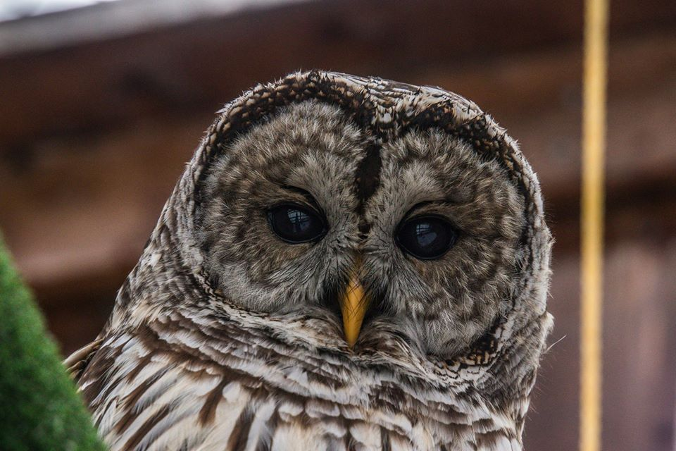 A barred owl stares into the camera at Sandy Pines Wildlife Centre, Ontario, Canada