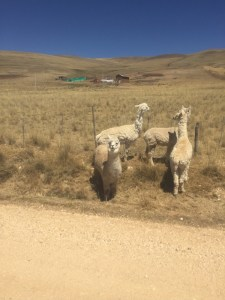 Alpacas im Nationalpark de Junin