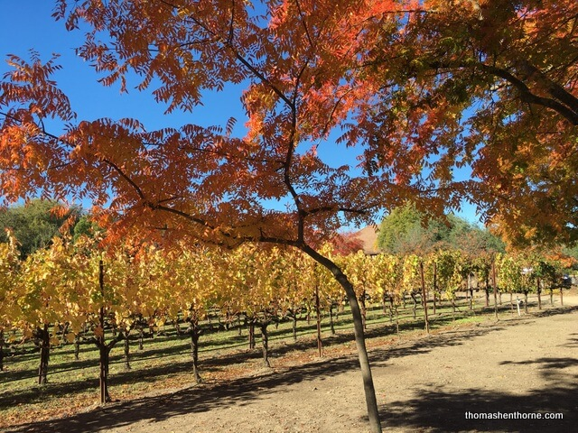 napa leaves in the fall
