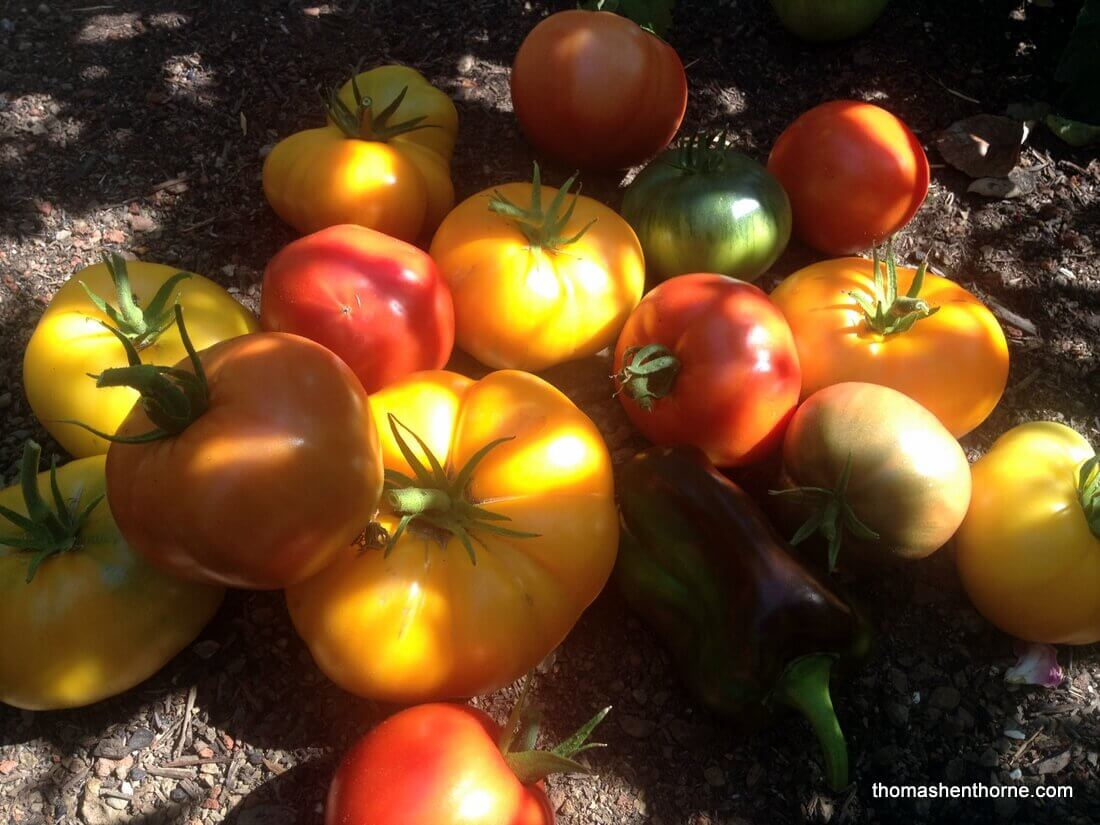 ripe marin tomatoes on soil
