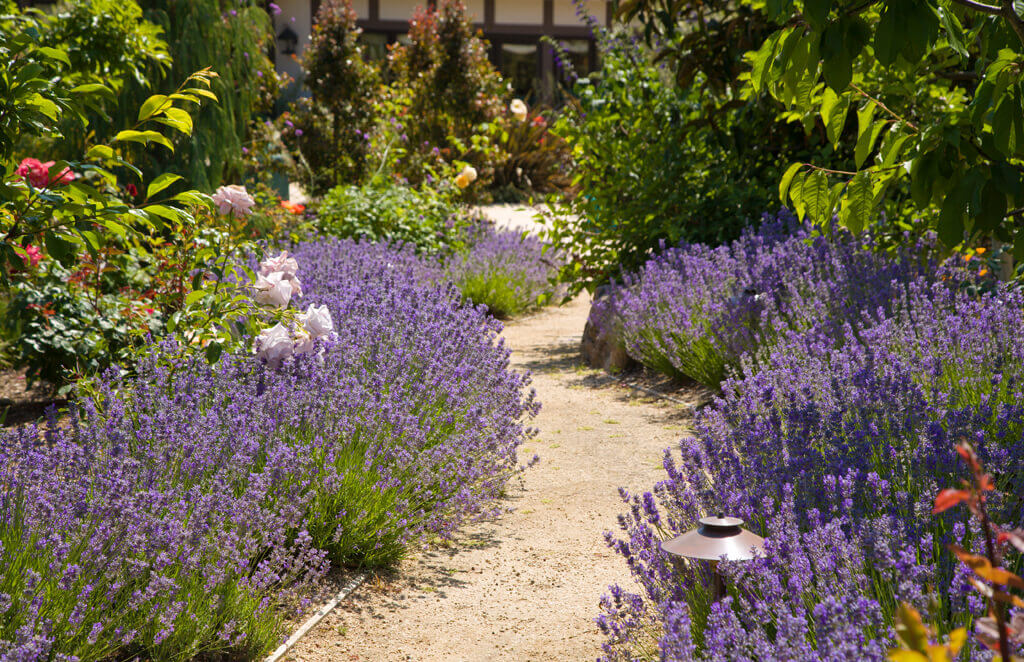 Lavender along a garden path