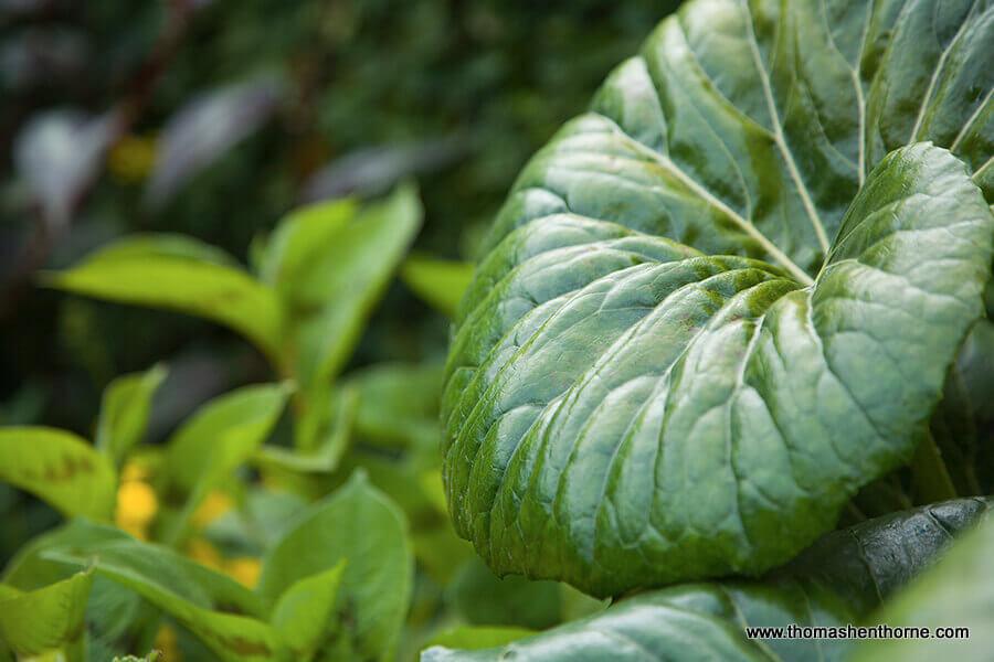 Henthorne Landscape Design Closeup of large leafed plant