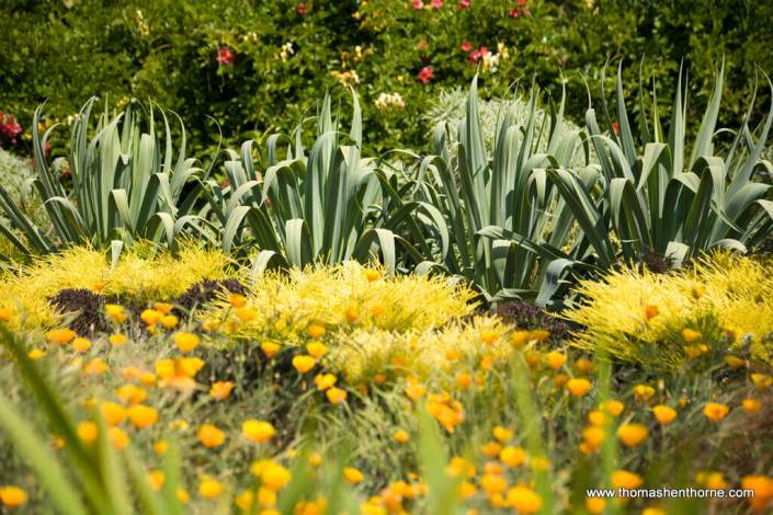 Agaves in background with yellow flowers in foreground
