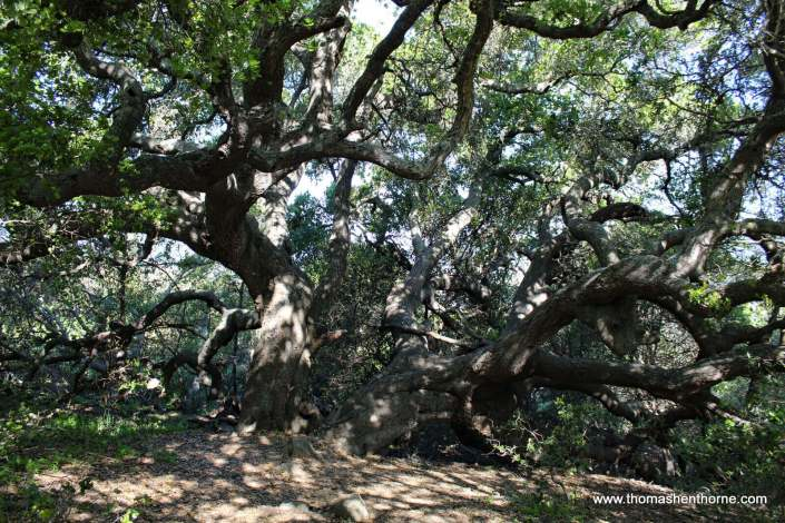 California Live Oak and Bay