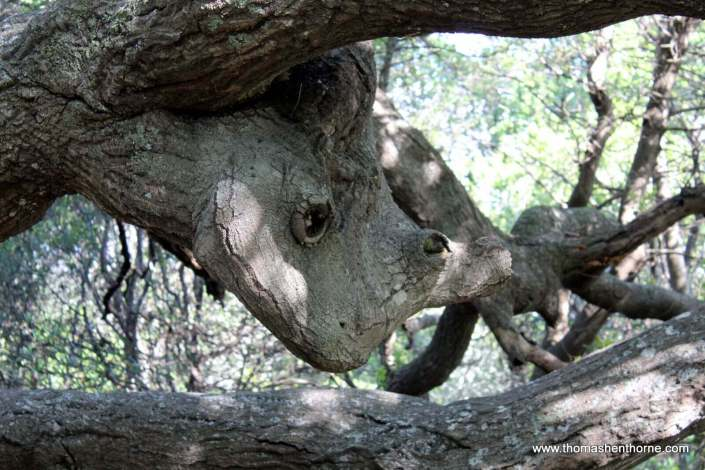 Tree that looks like rhinoceros