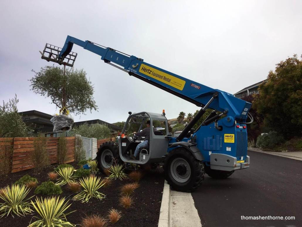 Craning in Olive Trees at 21 Gilmartin Drive