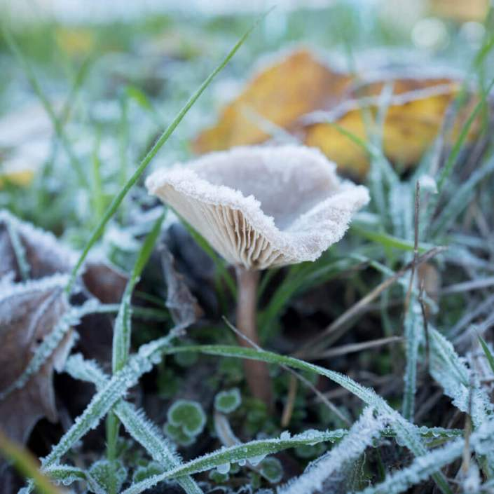 Mushroom with frost