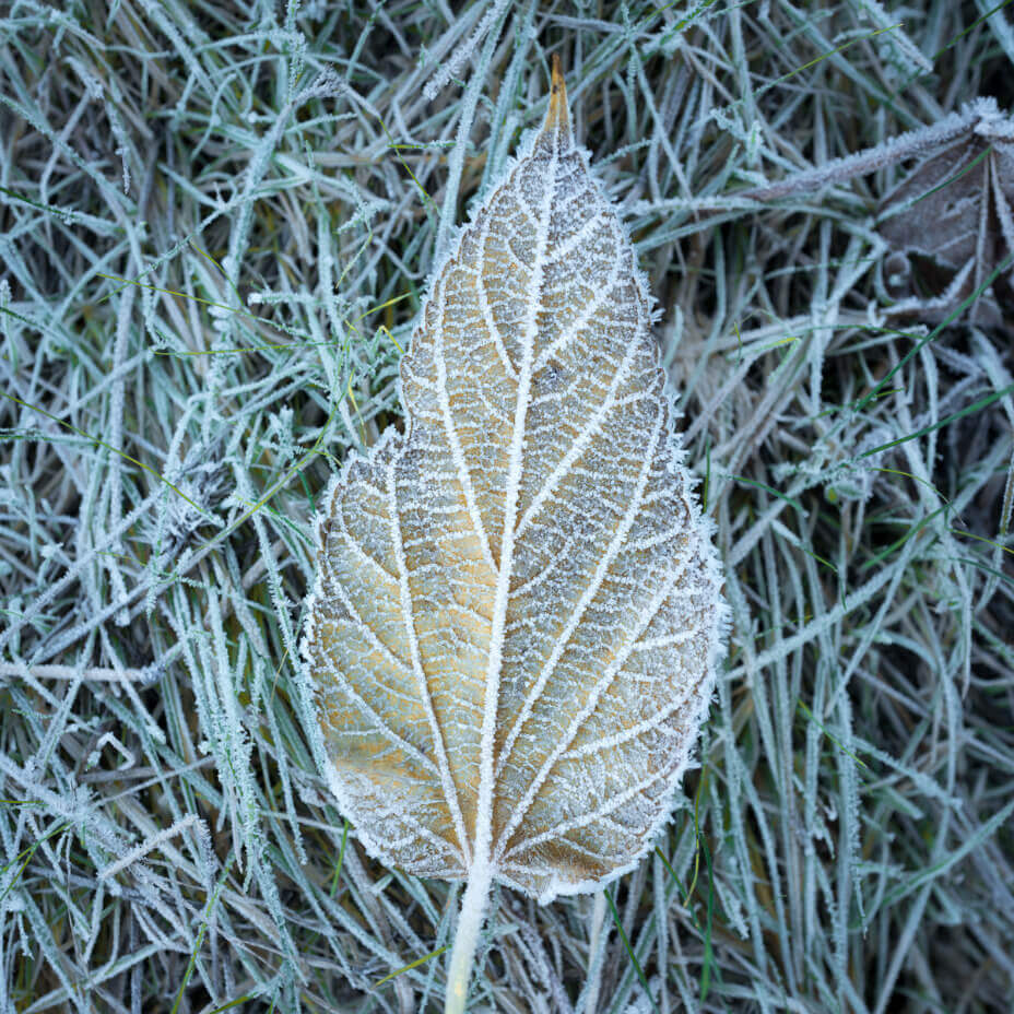 Leaf with frost on it