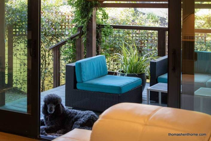 standard poodle reclining on deck