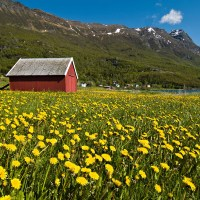 How to kill Dandelions w/out harming your pets