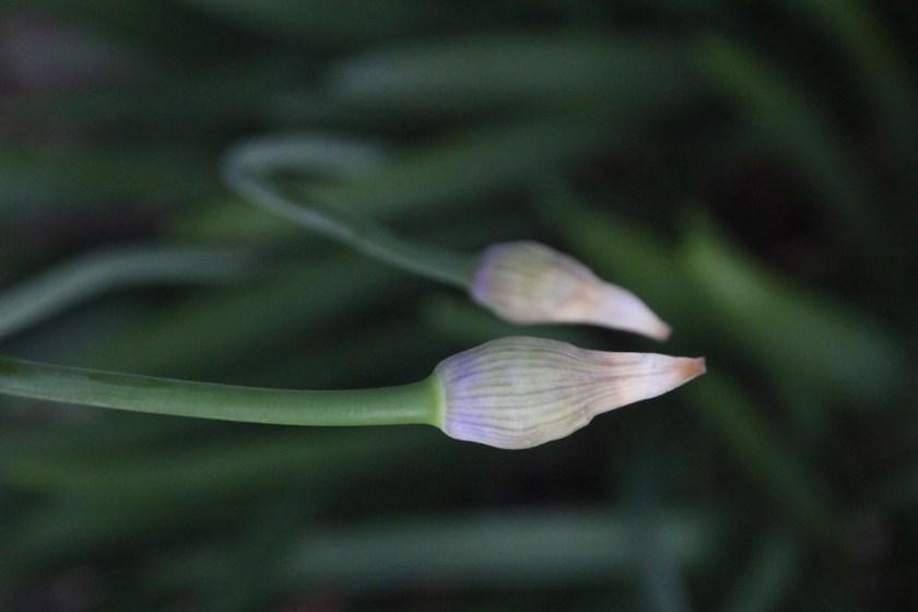 Zwei Blüten kurz vor dem Platzen, die sich scheinbar aufeinander zu bewegen. © Tom Rübenach