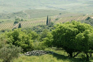 Paysage de vignes dans la région de Jerusalem