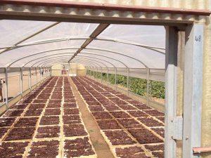...et en tunnel, chez Donnafugata, pour éviter de perdre tout le raisin à la moindre pluie.