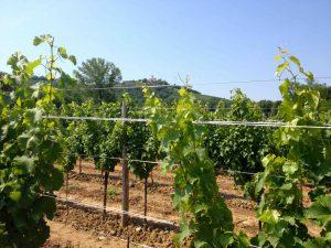 Les raisins de Collio se cultivent sur les collines... sauf ce sauvignon de Tiare, tiré sur fil, au fond d'une vallée!