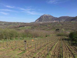 Les vignes de fiano de Maura Sarno (Tenuta Sarno 1860), à Candida, dans le décor spectaculaire et montagneux de la Campanie.