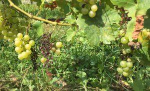 Mildiou sur une vigne traitée en bio à Lutry.