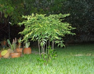 umbrella_tree