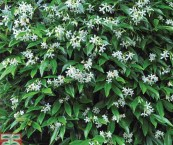 shrub with small white fragrant flowers