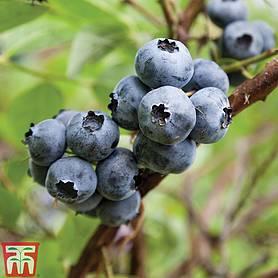blueberry plants thompson morgan