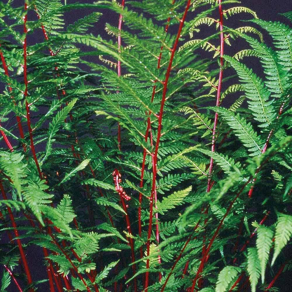 Fern Fantastic Lady In Red Plants