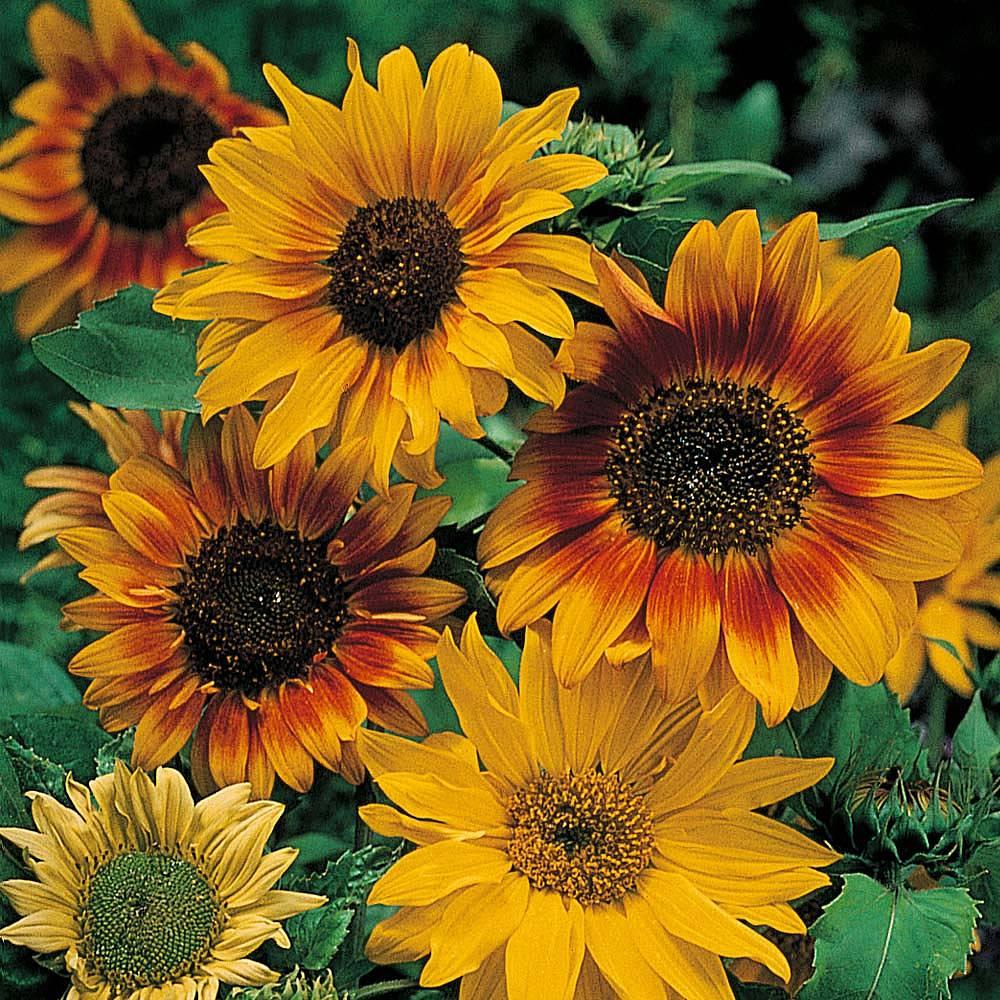 Fall Sunflower Desktop Wallpaper Sunflower Autumn Time Seeds Thompson Amp Morgan