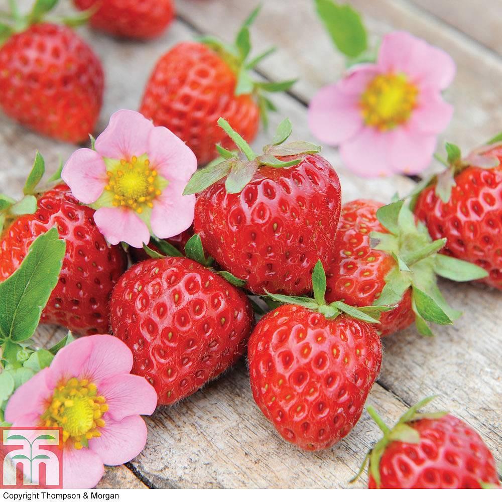 Strawberry Just Add Cream 226 162 Plug Plants Thompson Amp Morgan