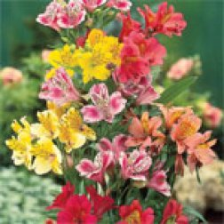 Add bare root Alstromeria for a more unusual plant