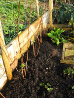 Plant raspberry canes on a sunny site
