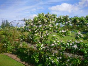 Apple Blossom at Thorntree
