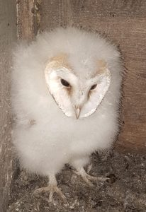 Barn Owl Chick at Thorntree Barn