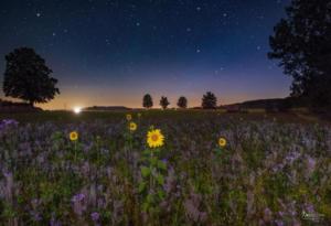 Sonnenblumen bei Nacht