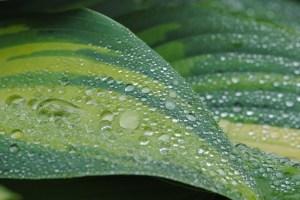Funkia i regn