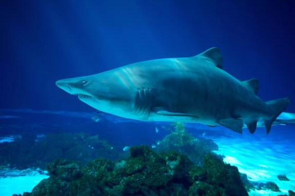 Tubarão Tigre-da-areia - Carcharias taurus