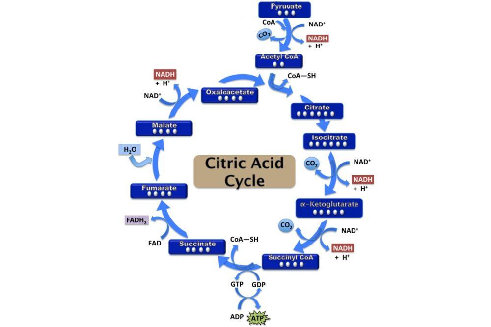 medium resolution of simple metabolic diagram