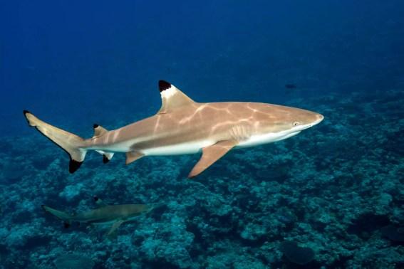 Tubarão preto do recife da ponta