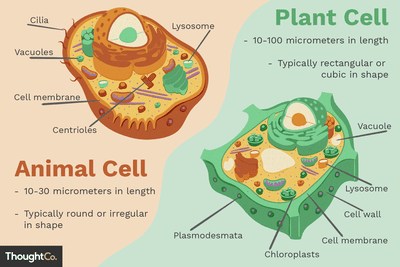 parts of a cell diagram the foot wall structure and function differences between plant animal cells
