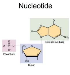 nucleotides are composed of a nitrogenous base a five carbon sugar and a phosphate group openstax wikimedia commons cc by sa 3 0 [ 1500 x 1000 Pixel ]