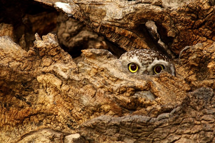 Coruja-pintada escondido no tronco de árvore