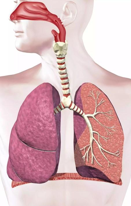 Ilustração digital do sistema respiratório humano.
