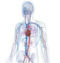 vascular system veins [ 1500 x 999 Pixel ]