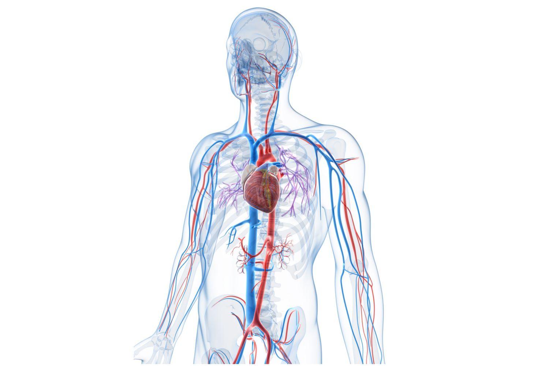 hight resolution of vascular system veins