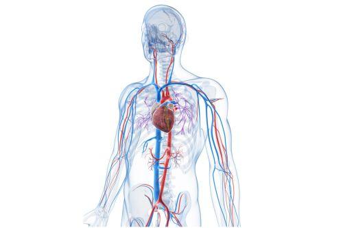 small resolution of vascular system veins