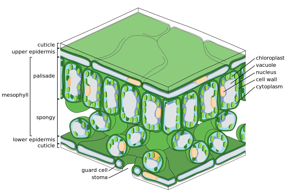 hight resolution of cellular and tissue structure of a dicotyledonous leaf