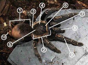 Anatomy Diagram: Learn the Parts of a Tarantula