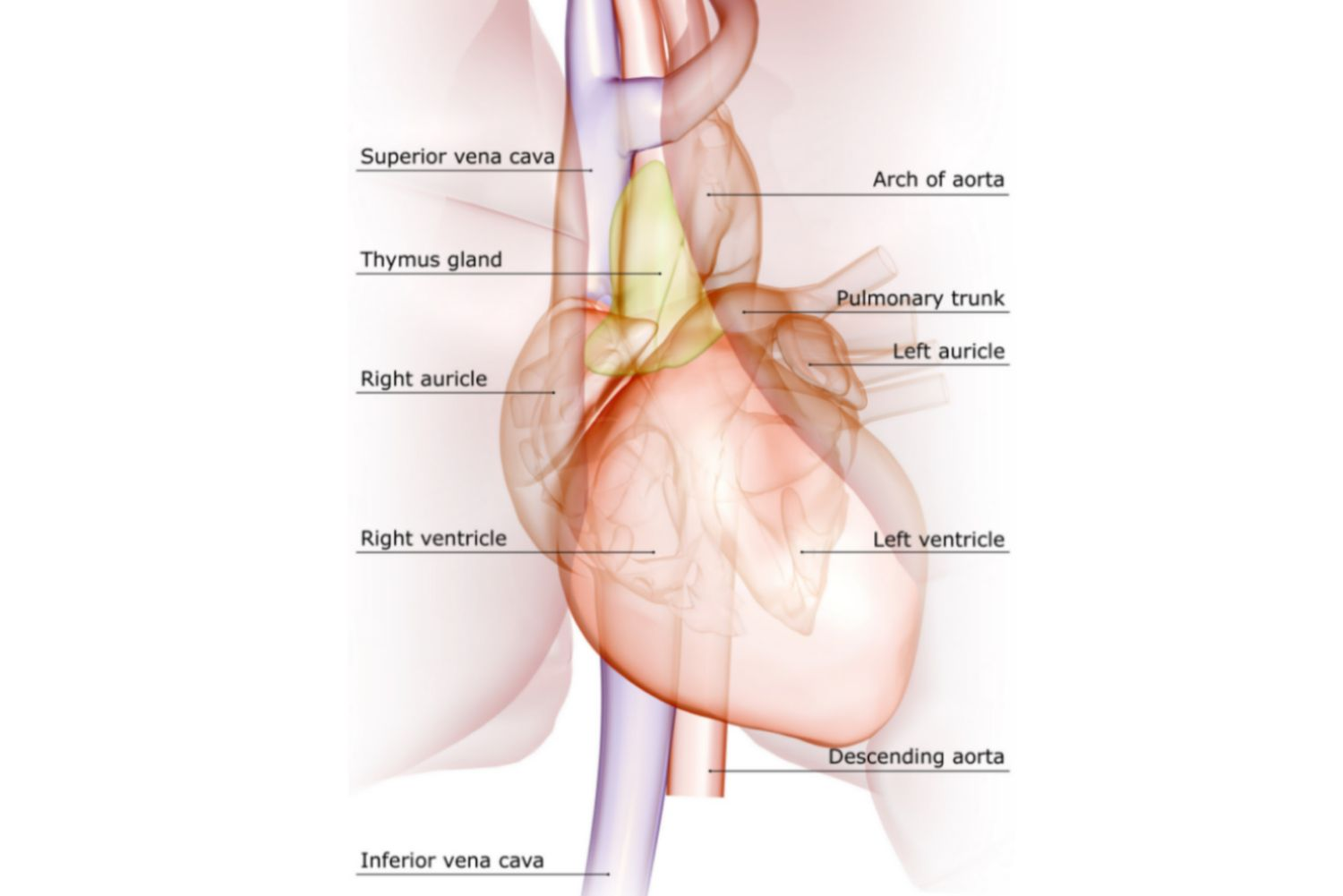 hight resolution of major veins and arteries of the heart labeled on a diagram