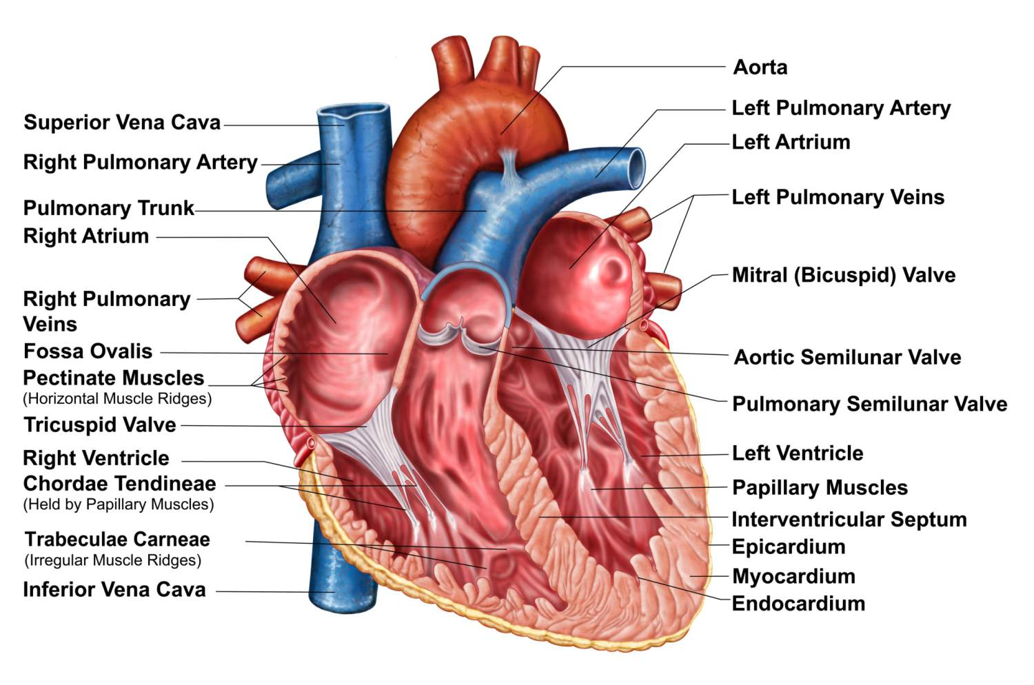 hight resolution of the interior anatomy of the heart diagram with labels